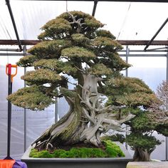 The Taikan Bonsai Museum is the ward of Shinji Suzuki, onetime student of Hamano and now one of the better-known practitioners in the field. Located in Obuse, the museum is home to an outstanding collection of bonsai.    From the Excursions by Jonas Dupuich