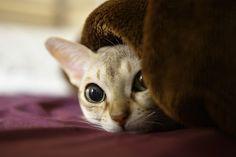 tsure-chang: singapura cat ~ sakura Ishihara sakuraquiet