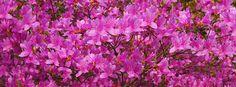 【Facebook cover】『京都・仁和寺のツツジですー。ぜひお使いください♪』制作日4/23
