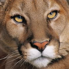 Cougars On Vancouver Island, what a stunning cat..