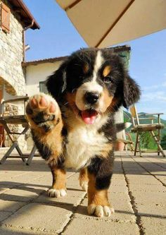 19 Bernese Mountain Puppies Who Simply Need To Make Your Day Higher - Allison faubert diy funny tattoo bonitos cachorros graciosos Super Cute Puppies, Cute Baby Dogs, Cute Little Puppies, Cute Dogs And Puppies, Doggies, Beagle Puppies, Maltese Puppies, Retriever Puppies, Adorable Dogs
