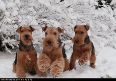 Look at those Airedales, they are so beautiful, how can you not love the Airedale