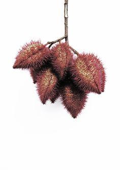 whatiseewhenirun:    Lipstick tree