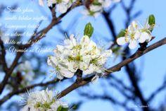 Luumupuun kukat