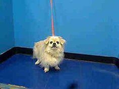 PAPO is an adoptable Pekingese Dog in New York, NY.  ...