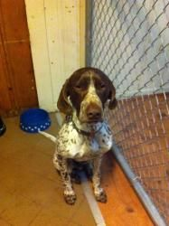 Toby is an #adoptable German Shorthaired Pointer Dog in #Watchung, #NEWJERSEY. Toby is a very sweet obedient dog. Loves to play with children and is good with all animals. Toby is 1 1/2 years old. If you are in...