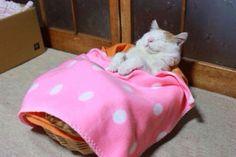 Japanese cat