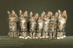 Maine Coon Kittens ~ all 7 bright eyed and looking in the same direction.