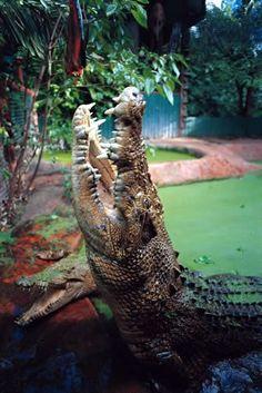 nile crocodile in captivity