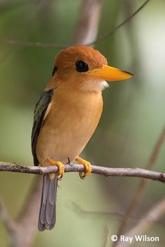 Yellow billed kingfisher by Ray Wilson