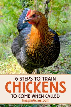 Before you let your backyard chickens free range, it is a good idea to have a strategy to get them back into their pen. Here's how to teach your chickens to come when called. Chicken To Go, Chicken Facts, Chicken Garden, Chicken Coup, Urban Chickens, Pet Chickens, Raising Backyard Chickens, Backyard Farming, Teacup Pigs