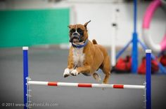 Trigger on the Agility Course ~ Rocket Boxers