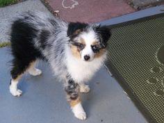 Cherry Hill Aussies- Australian Shepherd Breeder, Puppies, Sales