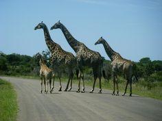 Giraffes in Kruger Park - South Africa