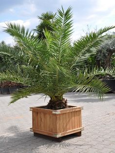 DATTELPALME I Phoenix canariensis I im Holzkübel I Der Palmenmann I  https://www.palmenmann.de/produkte/dattelpalme-kanarische-dattelpalme-phoe-cana-3649?c=53
