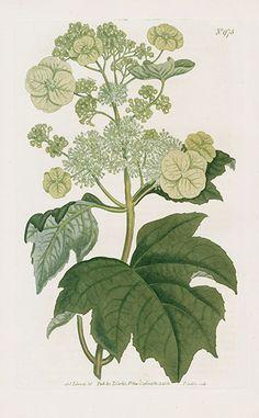Oak Leaved Hydrangea - William Curtis Botanical Magazine Antique Prints 1787-1817
