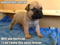 Bullmastiff puppies for sale @ #pups4sale