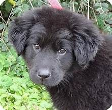 newfoundland black lab mix puppies for sale Cute Baby