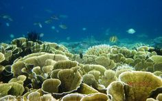 Hey, You see Coral Reef inside the sea of Pulau Tidung, Kepulauan Seribu, Indonesia. If You like snorkling or maybe diving, please join with me and come to Pulau Tidung