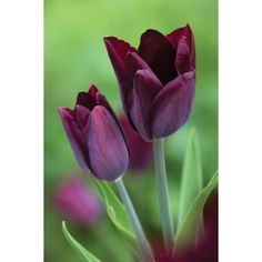 I have just purchased Tulip 'Havran' from Sarah Raven - https://www.sarahraven.com/flowers/bulbs/tulips/tulip_havran.htm