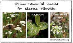 Herbs can effectively address the underlying reasons for fibroid growth so the body can restore health naturally. Diet, lifestyle, and vitamins can also play an important role.   It is about restoring overall health where there is imbalance.