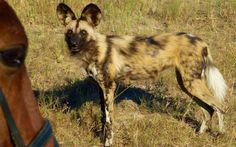 Riding with Wild Dog Okavango Delta, Wild Dogs, Safari, To Go, Animals, Animales, Animaux, Animal Memes, Animal