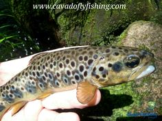 If you come to Portugal or consider visiting us it is reasonable to think about wild brown trout and fly fishing. We can show you river stretches easily accessible or rivers away from roads or houses where is difficult to find other angler. Trout Fishing, Fly Fishing, Brown Trout, Portuguese, Rivers, Portugal, Amazing, Animals, Trout