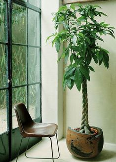Large plants to have indoors.