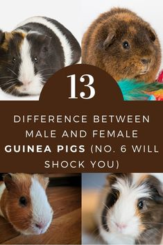 Guinea Pig Food, Pet Guinea Pigs, Guinea Pig Care, Guinnea Pig, Pig Family, Cottage In The Woods, All About Animals, Love Pet, Guinea Pigs