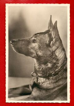 DOD GERMAN SHEPHERD VINTAGE PHOTO POSTCARD  606