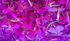 Rosebay Willowherb/Fireweed – Edibility, Identification, Distribution, Ecology, Recipes – Galloway Wild Foods - syrup, jam or jelly Ecology, Syrup, Jelly, Foods, Flowers, Plants, Recipes, Food Food, Food Items