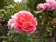 'Treasure Trail' Rose PhotoUSDA zone 5a and warmer.  Can be used for container rose, garden, shrub or specimen.  Vigorous.  drought resistant.  flowers drop off cleanly.  heat tolerant.  prefers full sun.