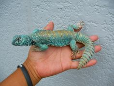 """"""" Uromastyx is a genus of African and Asian agamid lizards, the member species of which are commonly called spiny-tailed lizards. Shown: red-back cobalt blue uromastyx. Cute Reptiles, Reptiles And Amphibians, Uromastyx Lizard, Pygmy Marmoset, Mythological Animals, Bizarre Stories, Reptile Room, Pet Cage, Bearded Dragon"""