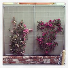 DIY galvanized pipe trellis with bougainvilleas