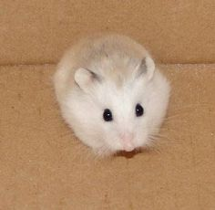 robo hamster. All hamster are same thus is like my little robo hamster