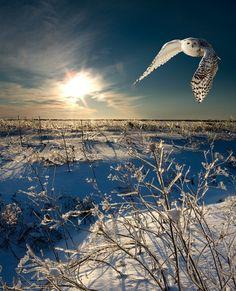 owl in flight, winter