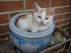 Kitten In Flowerpot - Cats & Kittens
