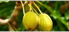Bimë Mjekësore - Revista Online: African Shea butter - Grade A - Cilësi e parë.