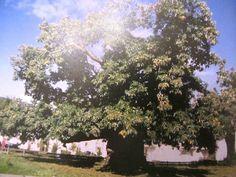 Châtaignier de l'Eraudière - Loire Atlantique  Cet arbre pourrait remonter à Pépin le Bref et à 1300 ans fournit encore  une abondante récolte.