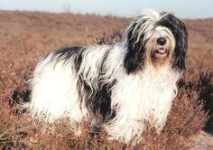 Polish Lowland Sheepdog - Polski Owczarek Nizinny
