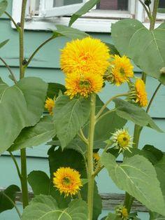 Sunflower Seeds - GIANT SUNGOLD -Helianthus Annuus-Chrysanthemum-Like - 10 Seeds #theseedhouse Organic Seeds, Sunflower Seeds, Chrysanthemum, Hedges, Bloom, Garden, Sunflowers, Beautiful, Ebay