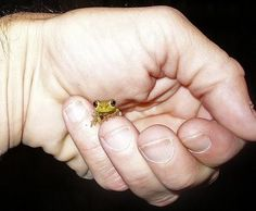 tiny_animals: adorable tiny frog