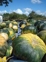 AgrotemasOnline: 08-feb-2009 Commercial Farming, Garden Inspiration, Watermelon, Pumpkin, Patio, Fruit, Vegetables, Gardening, Puerto Rico