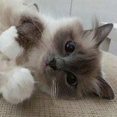 Good night sweetheart! #minivaniljer #mazarin #birma #birman #breeder #catsofinstagram #chokladochvanilj #pinkalicious #welovecats #we_love_cats #excellent_cats #bestcats_oftheworld #birmavanner #bluepoint