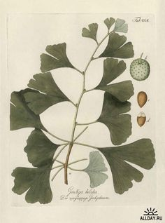 Botanical illustration of Ginko Biloba (1640-1900)