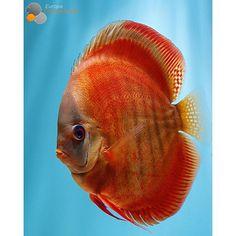 Discus fish! South American Cichlids, Discus Fish, Freshwater Aquarium Fish, Water Life, Beautiful Fish, Aquatic Plants, Tropical Fish, Marine Life, Sea Creatures