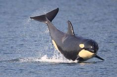 What A Blackfish! Mark Rulon ( the Name of the Photographer, not the Blackfish).