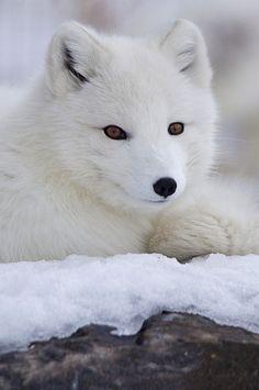 Arctic Fox by John Conwest