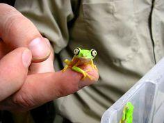 splendid leaf frog