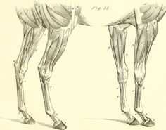 The_anatomy_and_physiology_of_the_horse-_with_anatomical_and_questional_illustrations._Containing,_also,_a_series_of_examinations_on_equine_anatomy_and_physiology,_with_instructions_in_reference_to_(18007009720).jpg (2592×2038)